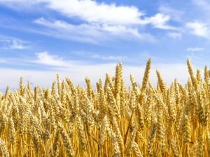 Wheat field in Hokkaido Japan